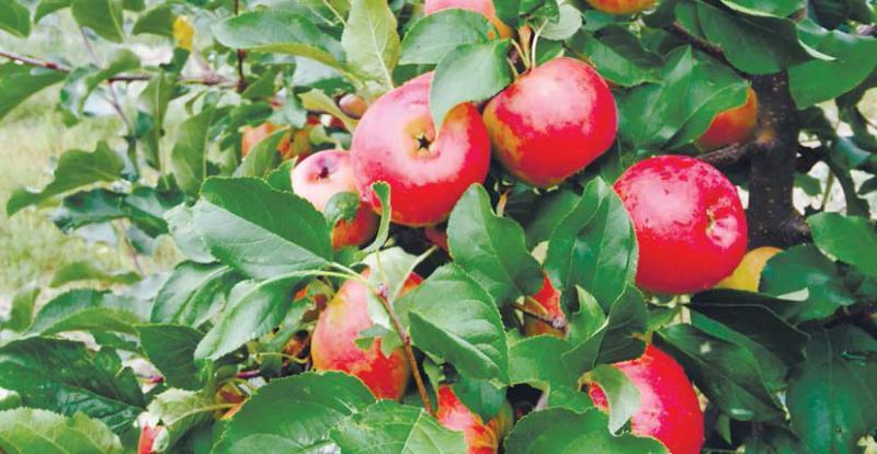Великі, гарні та смачні яблука реально виростити з використанням біопрепаратів – доведено ДП «Голланд Плант Україна»