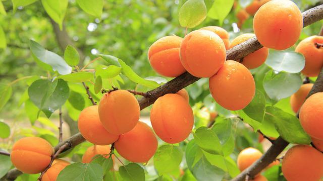 Технологія вирощування абрикоса