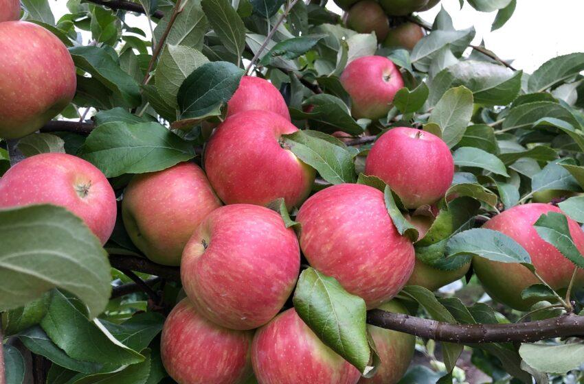 Як компанія «Агросвіт-СВ» успішно вирощує яблука та виготовляє соки прямого віджиму
