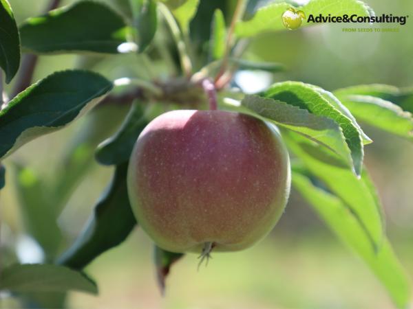 У Казахстані зростає інтенсивне плодівництво: Arnau Agro і Advice&Consulting – партнерство, яке розвивається роками і приносить якісні фрукти!