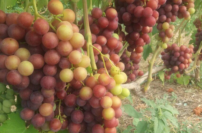 Вирощування винограду без поливу: як опановують технологію українські виробники