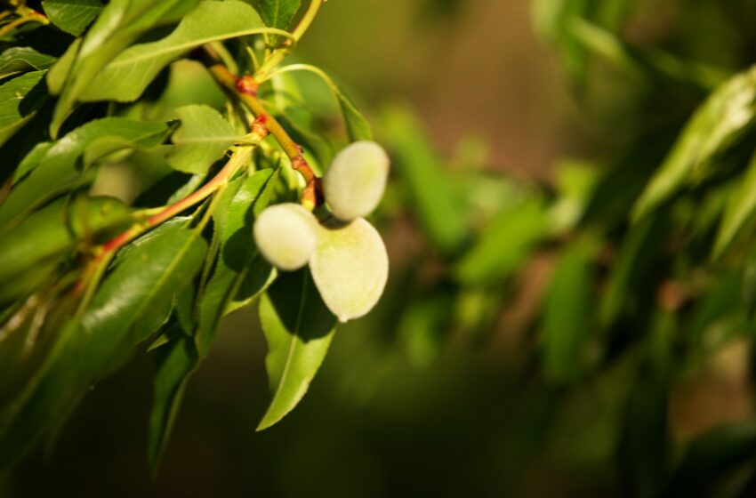 Розвиток мигдалевих садів в Україні. Реалії та перспективи