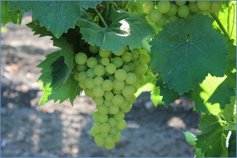 Біопрепарати – потужний інструмент у руках садівників і виноградарів