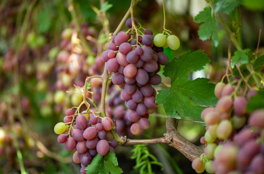 Виноград у теплиці – справа не для грошей, а для душі