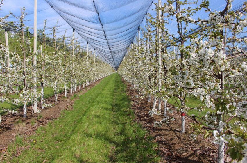 Українська якісна черешня європейського зразка. Досвід Уманської фруктової компанії