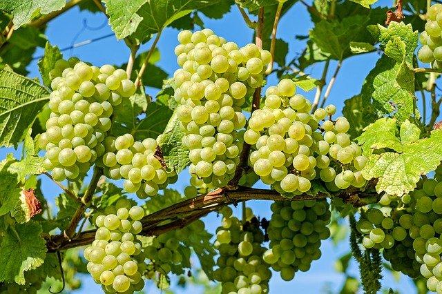 Рівень експорту винограду в Європі знизився