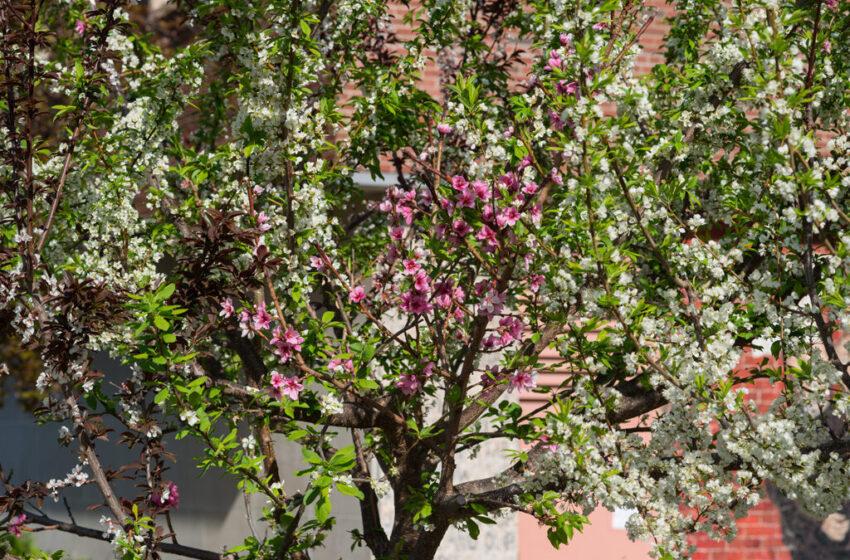 40 різних плодів на одному дереві: професор у США вирощує незвичайне дерево