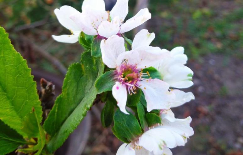 На Одещині зацвіли яблуні й гранати