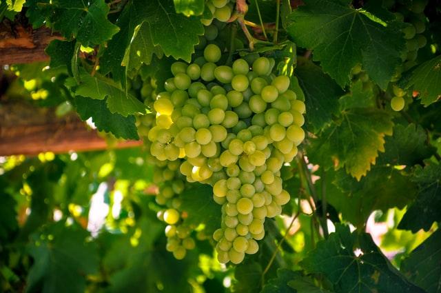 Запобігти хворобі – продовжити життя винограднику. З якими препаратами працюють українські виноградарі