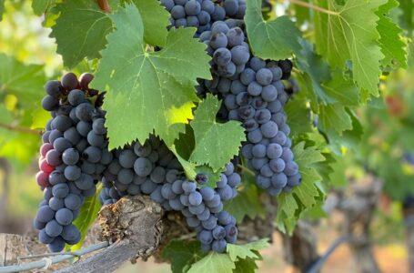 У шість разів менше винограду зберуть фермери на Одещині