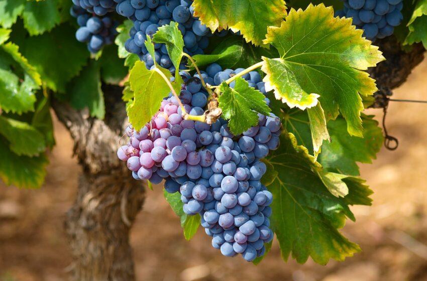 Фермери продають виноград за безцінь